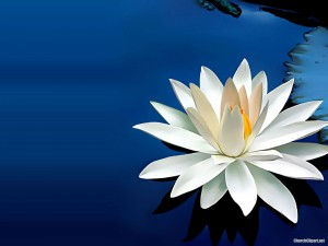 Water Lily Background for Powerpoint